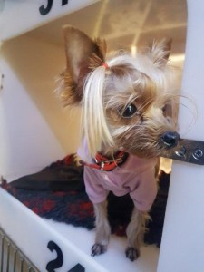 transport-caini-yorkshire terrier (2)