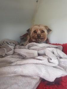 transport-animale-yorkshire terrier