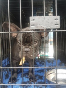 transport-catei-bulldog francez