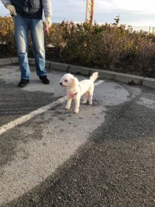 transport-animale-bichon (4)