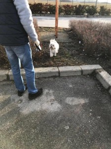 transport-caini-bichon (4)