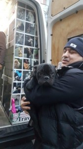 transport-caini-bulldog francez