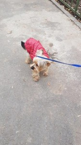 transport-caini-yorkshire terrier