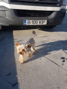 transport-animale-yorkshire terrier