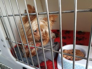transport-catei-yorkshire terrier