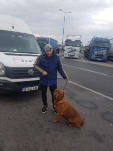 transport-caini-bullmastiff
