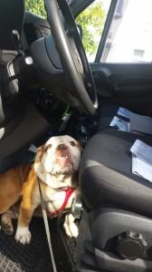 transport-caini-bulldog englez