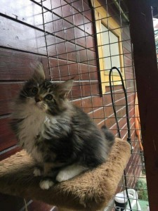 transport-pisici-maine coon (4)