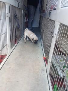 transport-caini-pug (4)
