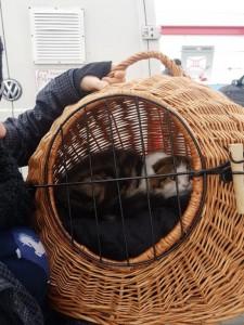 transport-pisici-anglia