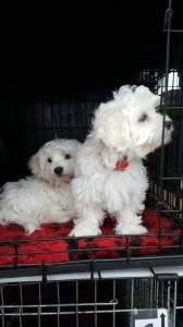 transport-animale-bichon (7)