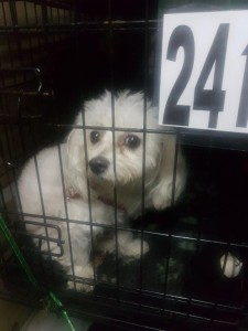 transport-catei-bichon (3)